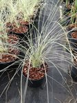 Miscanthus sin. 'Morninglight' 2