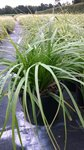 Carex oshimensis 'Evergreen' 1