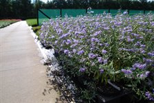 Caryopteris cl. 'Heavenly Blue' 1