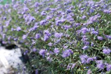 Caryopteris cl. 'Heavenly Blue' 2